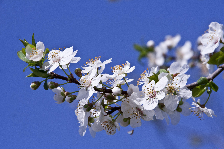 фото цветущей ветки сливы лучше, если